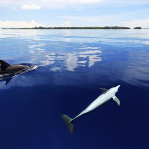 Dolphins of East New Britain Province